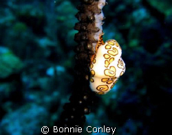 Flamingo Tongue seen July 2008 in Grand Cayman.  Photo ta... by Bonnie Conley