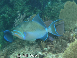 Queen Triggerfish North Shore Provodenciales.  Been tryng... by Bill Dow