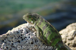 Iguana by the pier at Den Laman Condominiums in Bonaire. ... by Morgan Ashton