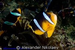 Clark's anemonfish. Canon 40D, SIGMA 50mm MACRO. by Alexander Nikolaev