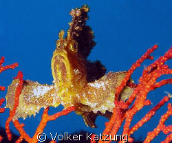 Scorpion Leaf Fish by Volker Katzung