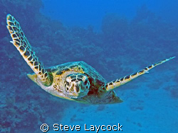 Hawksbill turtle admires itself in the lens port by Steve Laycock