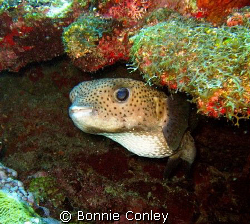 Porcupinefish seen at Grand Cayman July 2008.  Photo take... by Bonnie Conley
