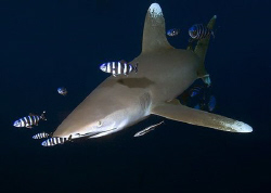 Oceanic Shark taken at Elphinstone. by Eric Orchin