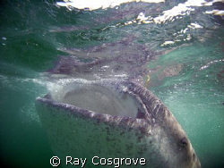 Big Gulp !!!   Whale shark off the Yucatan coast in Augu... by Ray Cosgrove