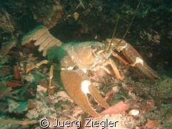 Lake Zurich, Kuessnacht/Switzerland: freshwater lobster by Juerg Ziegler