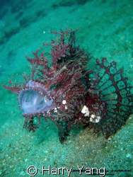 Lacy Scorpionfish..2008/8/17 by Harry Yang