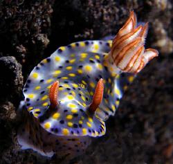 Hypselodoris infucata, Lembeh by Doug Anderson