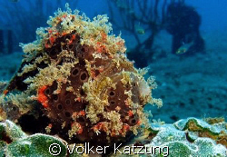 Frogfish by Volker Katzung