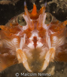 Close up of a squat lobster , Sound of Mull, Scotland  by Malcolm Nimmo