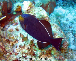 Black Durgon seen July 2008 at Grand Cayman.  Photo taken... by Bonnie Conley