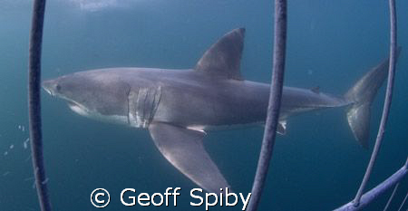 a beautiful Great White Shark