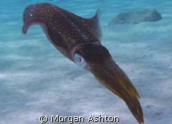 Caribbean squid who wouldn't go away. Taken while shore d... by Morgan Ashton