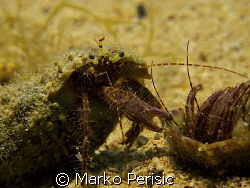 Hermit Crabs come into contact with each other. Bol Brac. by Marko Perisic