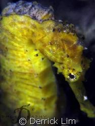 Shy yellow seahorse found @ Pulau Hantu, Singapore. Canon... by Derrick Lim