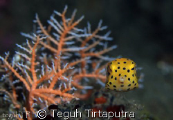 Yellow Boxfish. Captured at Manado, Indonesia. Canon EOS ... by Teguh Tirtaputra