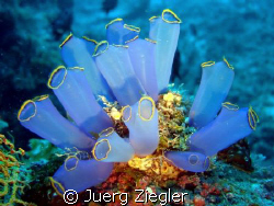 """Flowers in the Deep Sea"" - Beautiful Soft Corlas  by Juerg Ziegler"