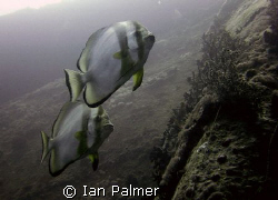 Batfish off the Starboard side of the Thistlegorm. by Ian Palmer