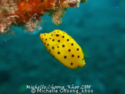 yellow boxfish feeding on algae, after playing hide n see... by Michelle Choong_khoo