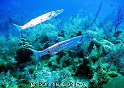 Barracuda pair seen July 2008 in Grand Cayman.  Photo tak... by Bonnie Conley
