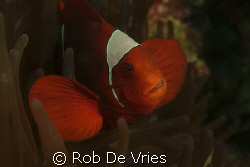 Anemone fish posing by Rob De Vries