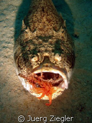 Hungry Stargazer eating Lionfish ! by Juerg Ziegler