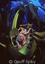 Cape crab on Ecklonia maxima kelp Cape Peninsula Cape To... by geoff Spiby