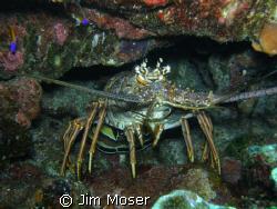 Spiney Lobster. Photo taken with SP 550UZ July 2008, Gran... by Jim Moser