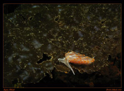 Opalescent Nudibranch looking for a meal.  Taken in Victo... by Stephen Holinski