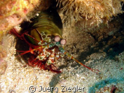 Mantis Hammershrimp watching you - this is my favorite sh... by Juerg Ziegler