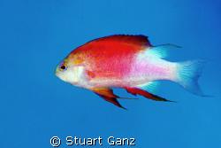 "Longfin Anthias, Taken at a dive site in Kona named ""Two ... by Stuart Ganz"