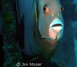 French Angelfish at Oro Verde wreck, Grand Cayman Island... by Jim Moser