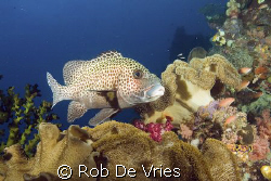 Intact corals and lots of kinds of fish in Raja Ampat. by Rob De Vries