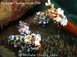 Tulamben is harlequin shrimps' heaven... by Michelle Choong_khoo