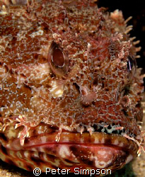 """"""" Not Happy"""" Photo of a Red Rockcod taken at Harbord, Syd... by Peter Simpson"""