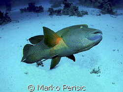 Great time with a great giant Napoleon Wrasse (cheilinus ... by Marko Perisic
