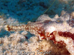 Pegasus - hard to spot as very small (only 3cm) and in th... by Juerg Ziegler