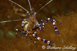 A nosy cleaner shrimp posing for the camera by Barbara Schilling