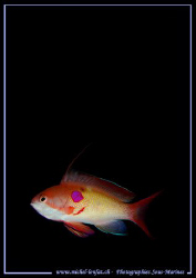 """""""Un Barbier"""" (I don't know the name of this fish in Engli... by Michel Lonfat"""