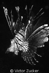 bw lionfish by Victor Zucker