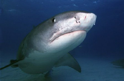 Tiger shark... was not pleased with me moving ! Nikon d10... by Eric Orchin