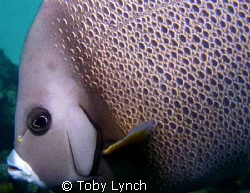 Grey Angelfish from the Bahamas. by Toby Lynch