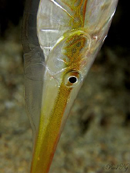 Need to Shave? Razor Fish taken in perhentian Island Mala... by Paul Ng