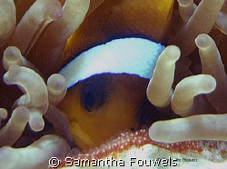 Nemo mama taking good care of breed by Samantha Fouwels