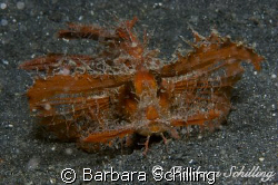 Ambon Rhinopia walking over the black sand. Oddly beautif... by Barbara Schilling