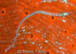 pipefish on a red sponge's bed by Mario Toldo