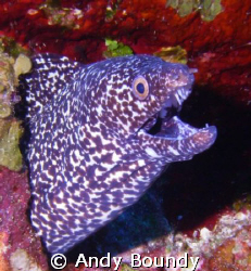 """""""Dude - not now - really!"""" Nice spotted Moray telling me... by Andy Boundy"""