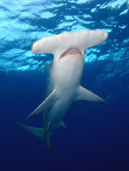 Great Hammerhead  D100 12-24mm by Eric Orchin