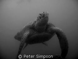 """""""Hanging Out"""" Very calm turtle photo taken at Low Island,... by Peter Simpson"""