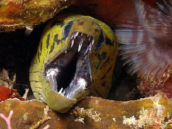 Moray, Lembeh by Doug Anderson
